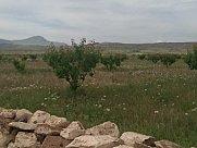 Բերքատու այգի, Արայի